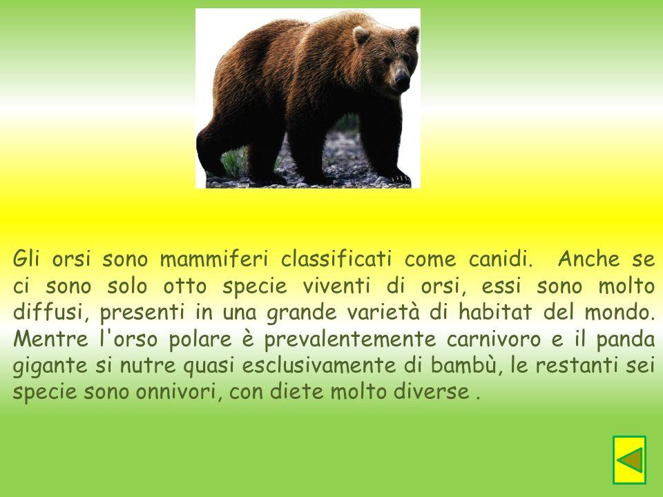 Gli orsi sono mammiferi classificati come canidi. Anche se ci sono solo otto specie viventi di orsi, essi sono molto diffusi, presenti in una grande v