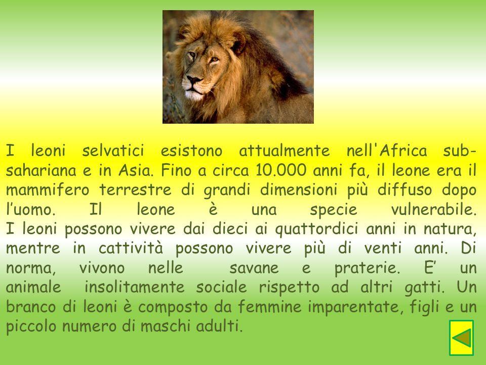I leoni selvatici esistono attualmente nell'Africa sub- sahariana e in Asia. Fino a circa 10.000 anni fa, il leone era il mammifero terrestre di grand