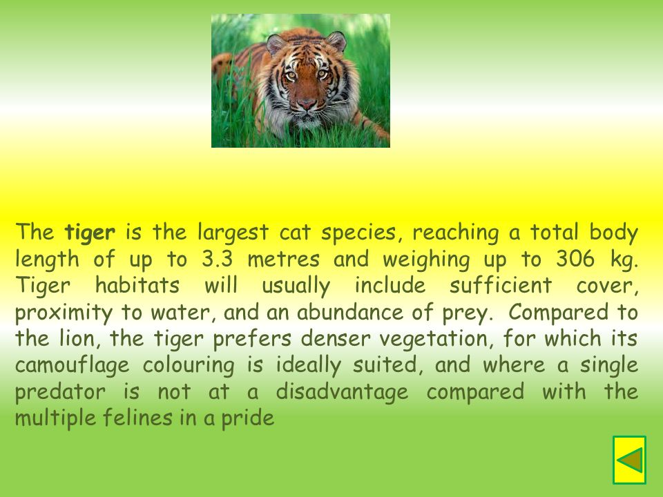 The tiger is the largest cat species, reaching a total body length of up to 3.3 metres and weighing up to 306 kg. Tiger habitats will usually include