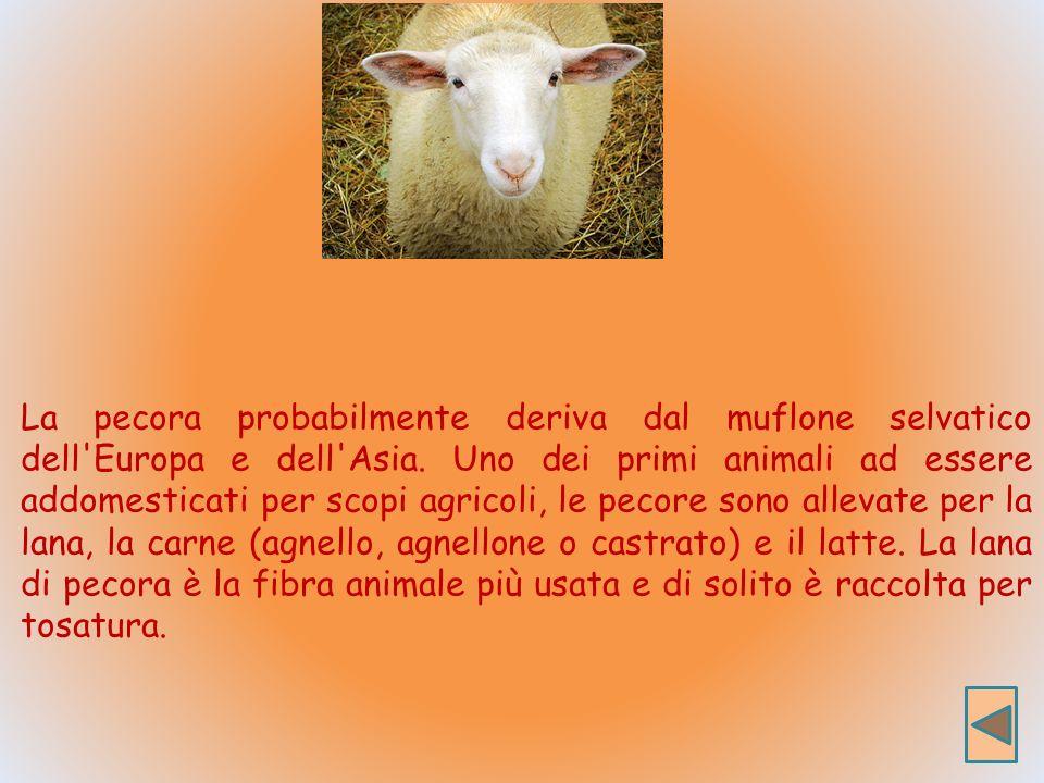La pecora probabilmente deriva dal muflone selvatico dell Europa e dell Asia.