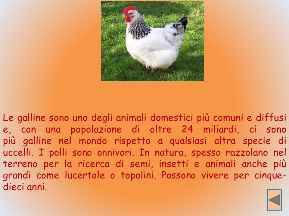 Le galline sono uno degli animali domestici più comuni e diffusi e, con una popolazione di oltre 24 miliardi, ci sono più galline nel mondo rispetto a qualsiasi altra specie di uccelli.