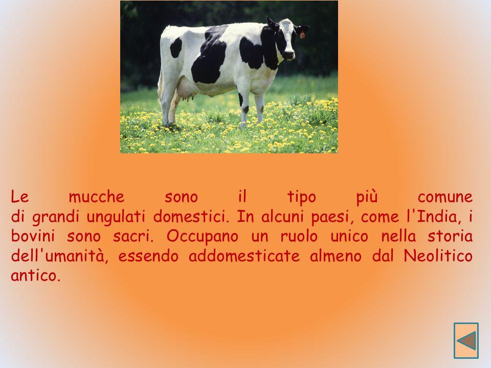 Le mucche sono il tipo più comune di grandi ungulati domestici.