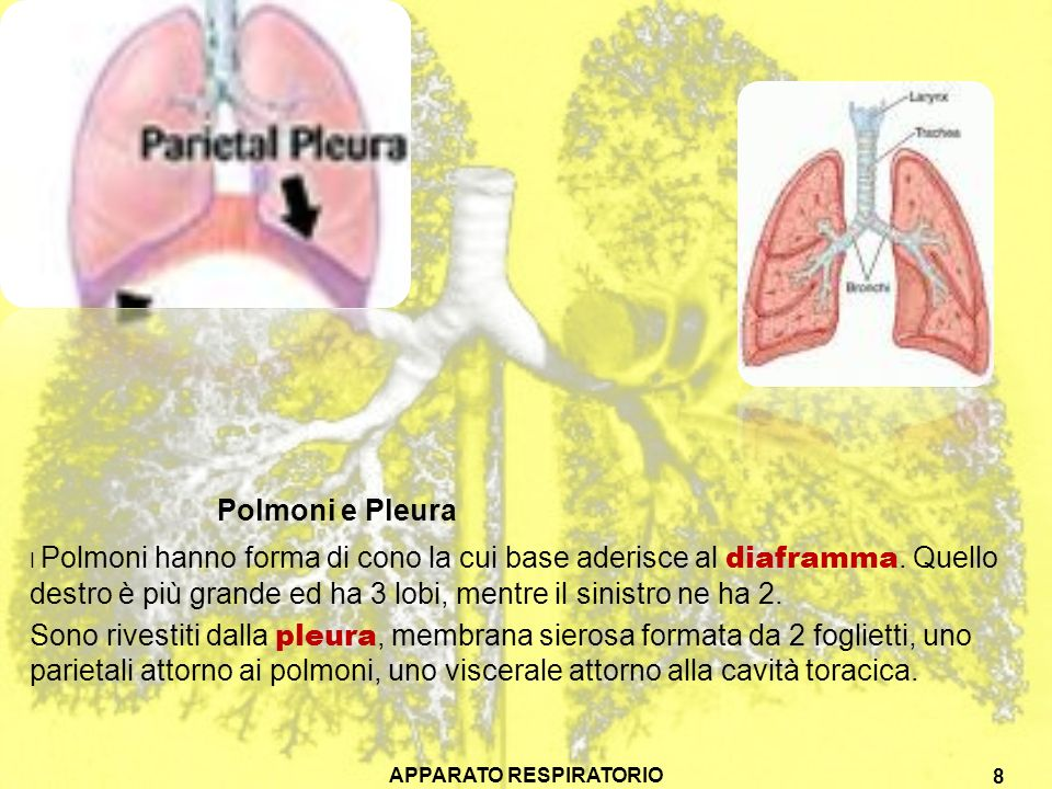 Polmoni e Pleura I Polmoni hanno forma di cono la cui base aderisce al diaframma. Quello destro è più grande ed ha 3 lobi, mentre il sinistro ne ha 2.