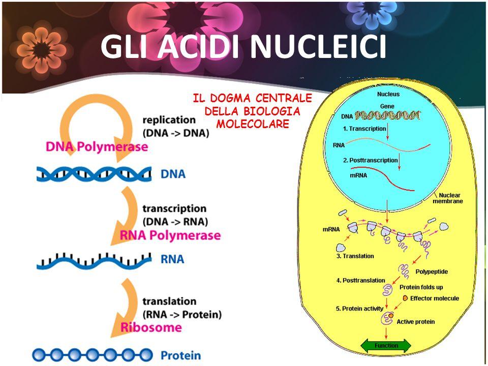 IL DOGMA CENTRALE DELLA BIOLOGIA MOLECOLARE GLI ACIDI NUCLEICI