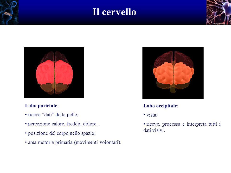 Il cervello Lobo parietale: riceve dati dalla pelle; percezione calore, freddo, dolore... posizione del corpo nello spazio; area motoria primaria (mov