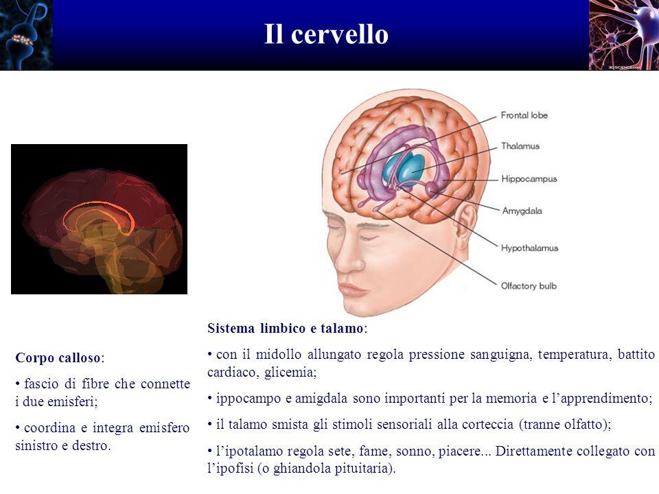 Il cervello Corpo calloso: fascio di fibre che connette i due emisferi; coordina e integra emisfero sinistro e destro. Sistema limbico e talamo: con i