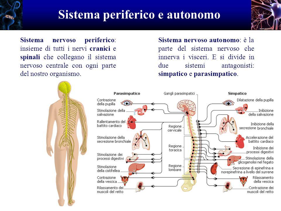 Sistema periferico e autonomo Sistema nervoso periferico: insieme di tutti i nervi cranici e spinali che collegano il sistema nervoso centrale con ogn