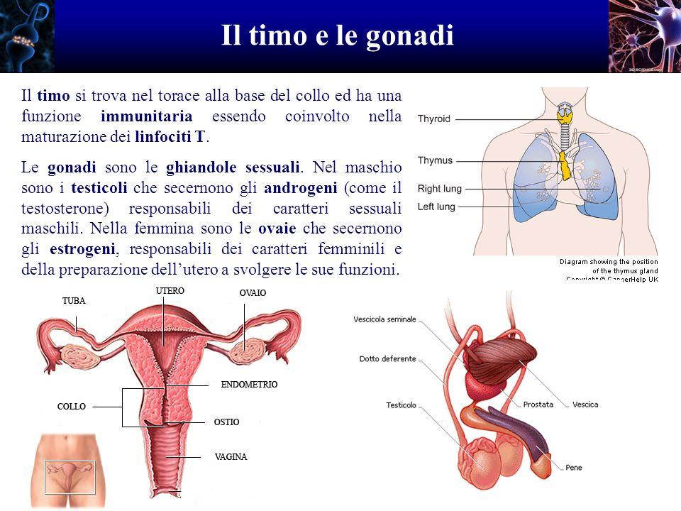 Il timo e le gonadi Il timo si trova nel torace alla base del collo ed ha una funzione immunitaria essendo coinvolto nella maturazione dei linfociti T