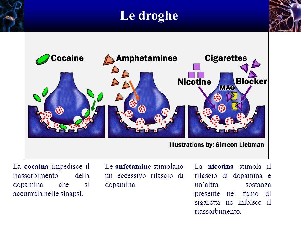 Le droghe La cocaina impedisce il riassorbimento della dopamina che si accumula nelle sinapsi. Le anfetamine stimolano un eccessivo rilascio di dopami