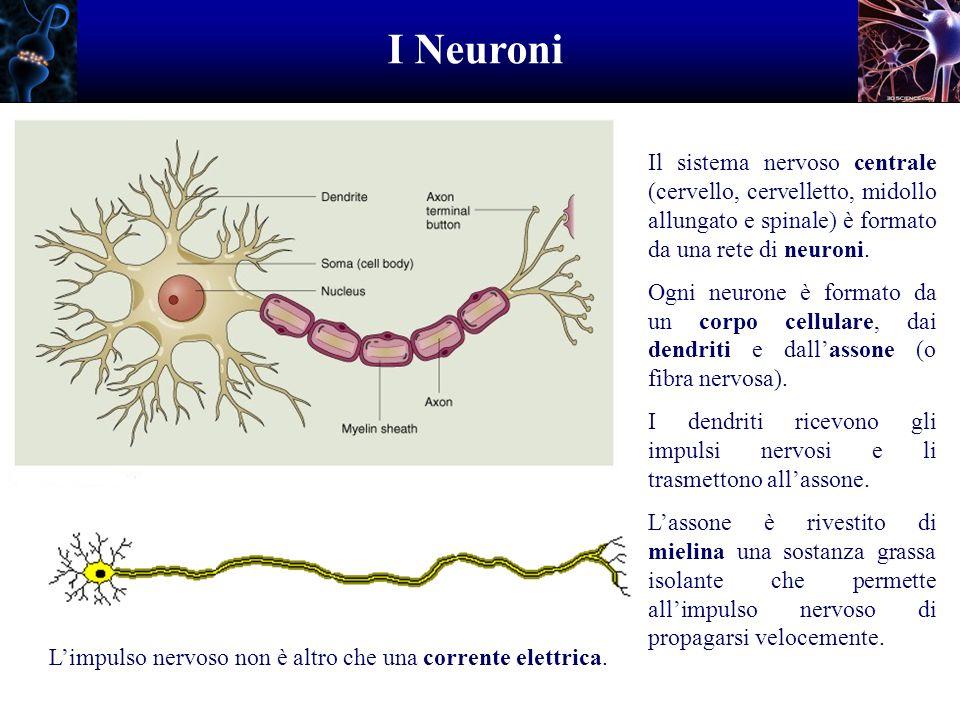 I Neuroni Il sistema nervoso centrale (cervello, cervelletto, midollo allungato e spinale) è formato da una rete di neuroni. Ogni neurone è formato da