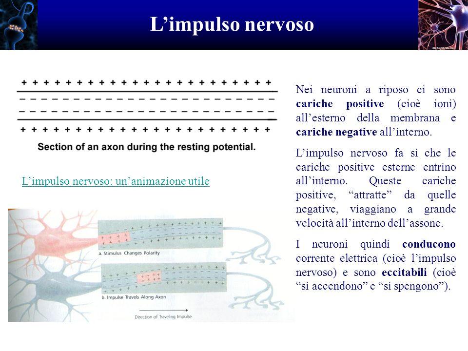 Limpulso nervoso Nei neuroni a riposo ci sono cariche positive (cioè ioni) allesterno della membrana e cariche negative allinterno. Limpulso nervoso f