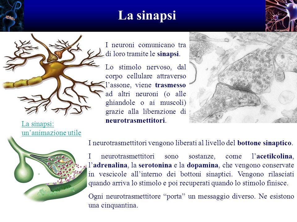 La sinapsi I neuroni comunicano tra di loro tramite le sinapsi. Lo stimolo nervoso, dal corpo cellulare attraverso lassone, viene trasmesso ad altri n