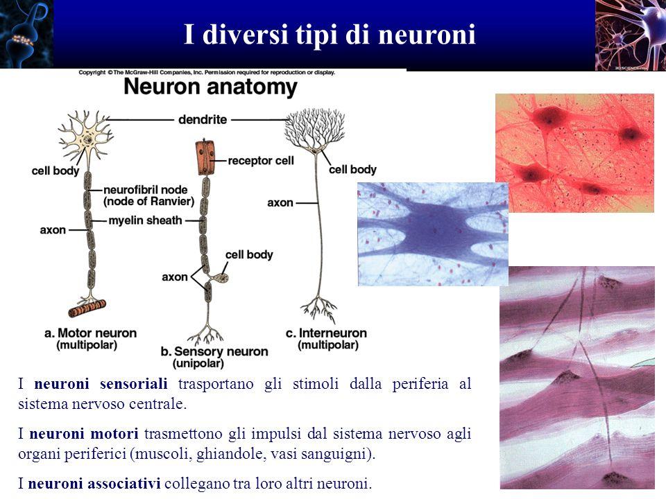 I diversi tipi di neuroni I neuroni sensoriali trasportano gli stimoli dalla periferia al sistema nervoso centrale. I neuroni motori trasmettono gli i