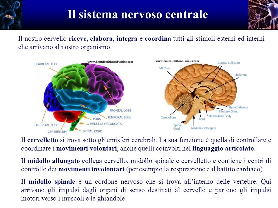 Il sistema nervoso centrale Il nostro cervello riceve, elabora, integra e coordina tutti gli stimoli esterni ed interni che arrivano al nostro organis