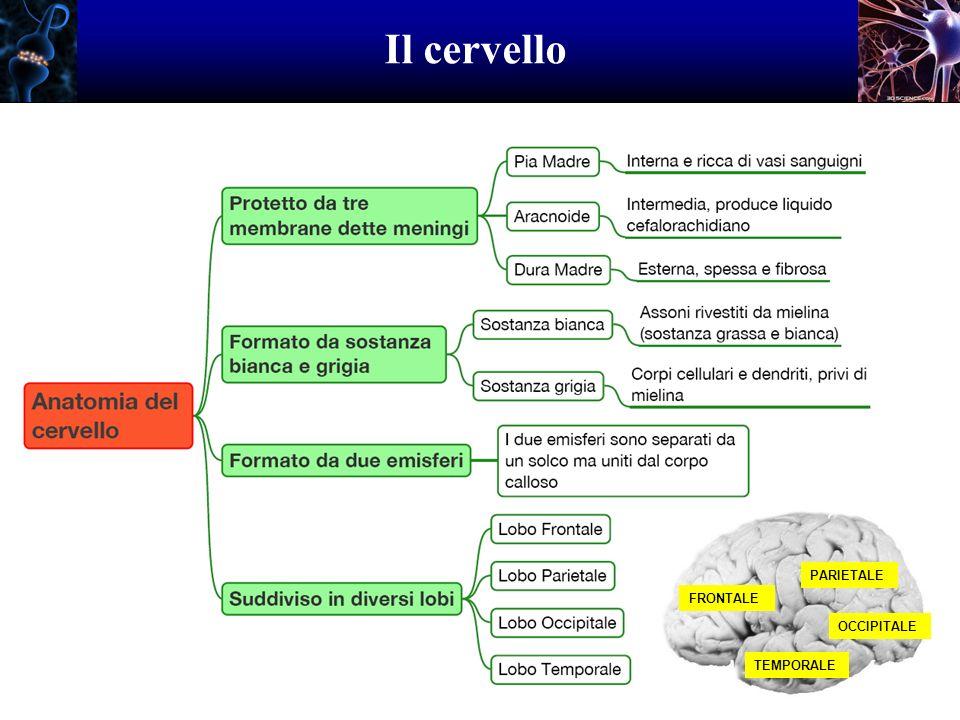Il cervello FRONTALE PARIETALE TEMPORALE OCCIPITALE