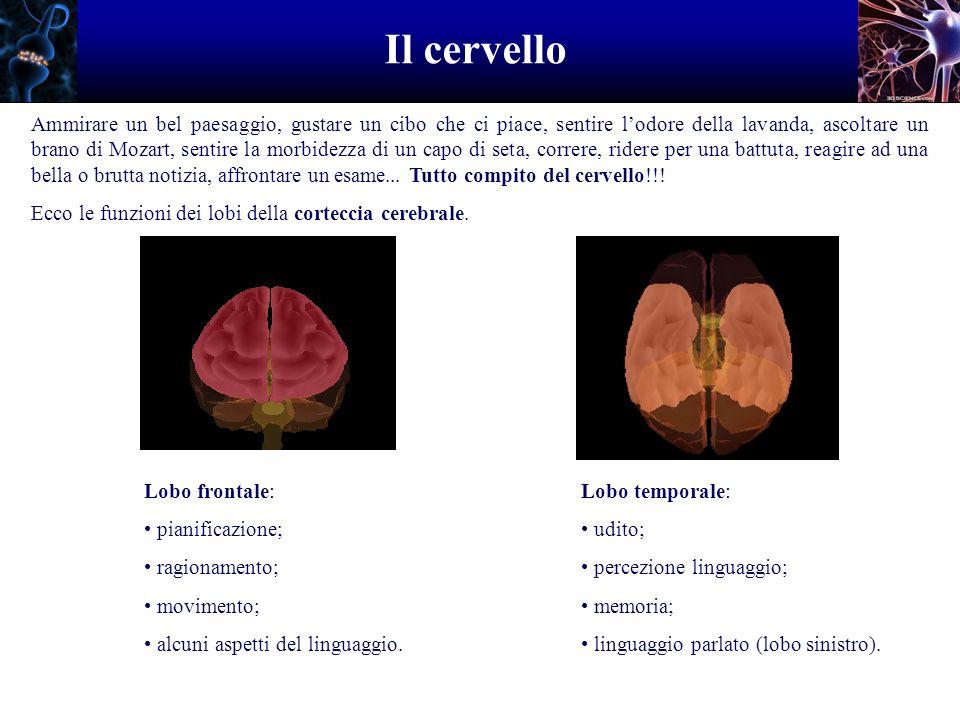 Il cervello Lobo parietale: riceve dati dalla pelle; percezione calore, freddo, dolore...
