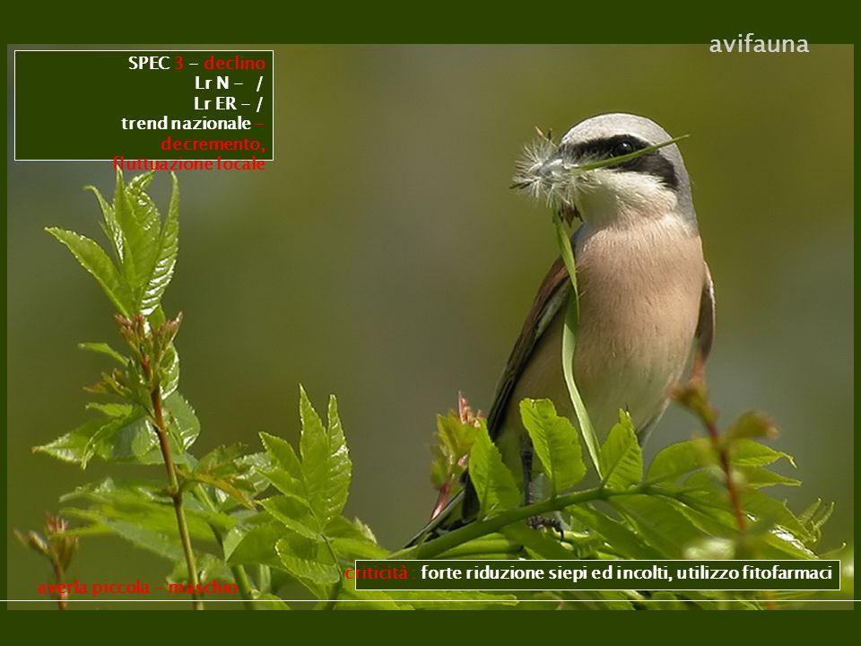 averla piccola - maschio avifauna SPEC 3 - declino Lr N - / Lr ER - / trend nazionale - decremento, fluttuazione locale criticità : forte riduzione siepi ed incolti, utilizzo fitofarmaci