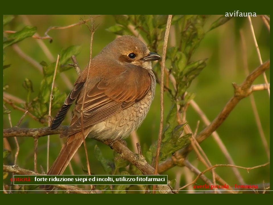 averla piccola - femmina avifauna criticità : forte riduzione siepi ed incolti, utilizzo fitofarmaci
