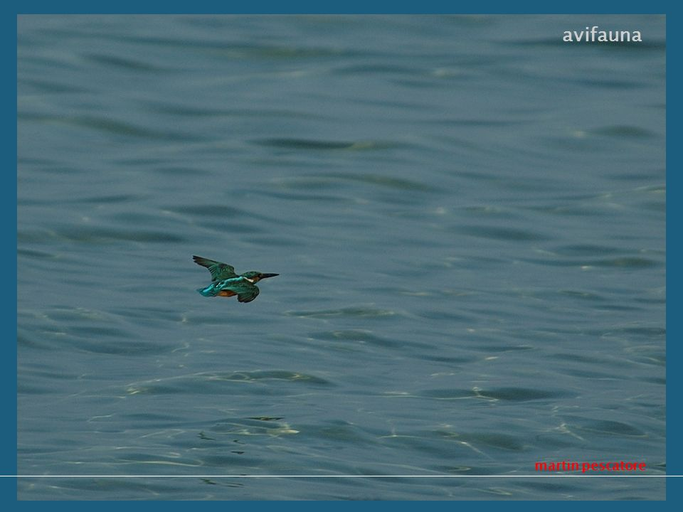 martin pescatore avifauna