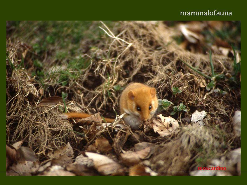 moscardino mammalofauna