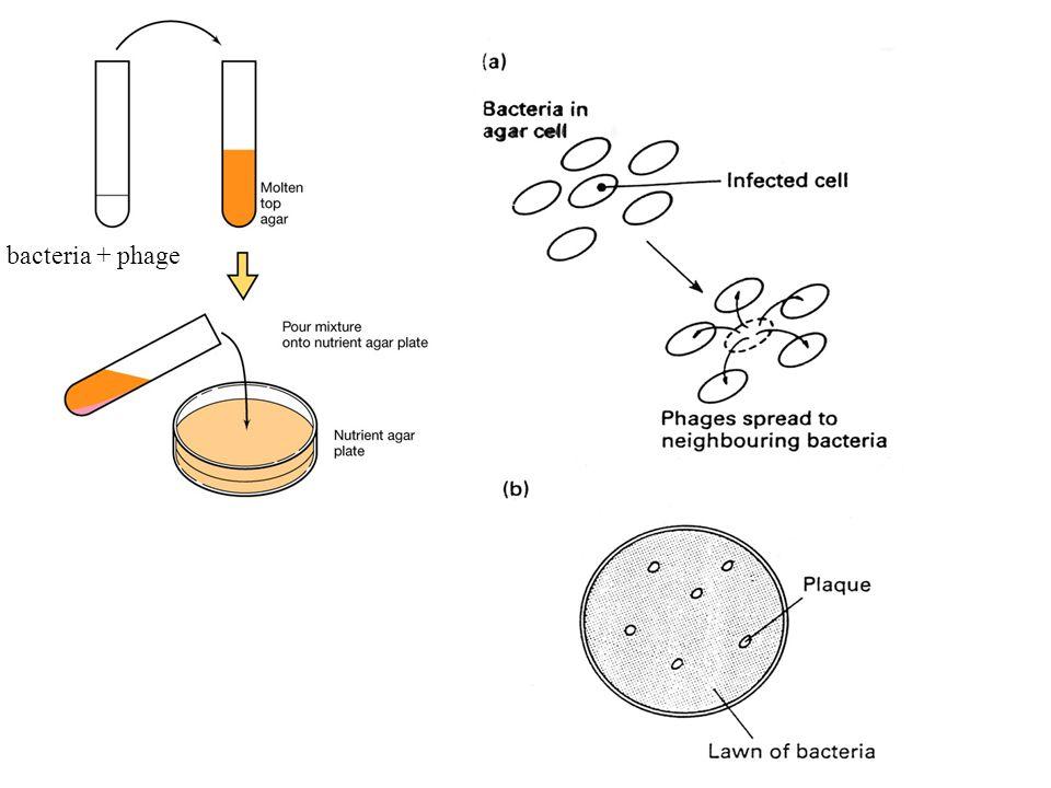 Plaque Assay bacteria + phage