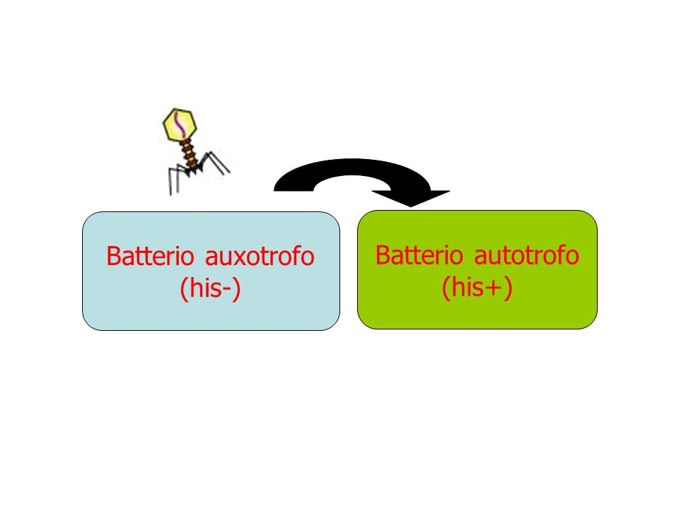 Batterio auxotrofo (his-) Batterio autotrofo (his+)
