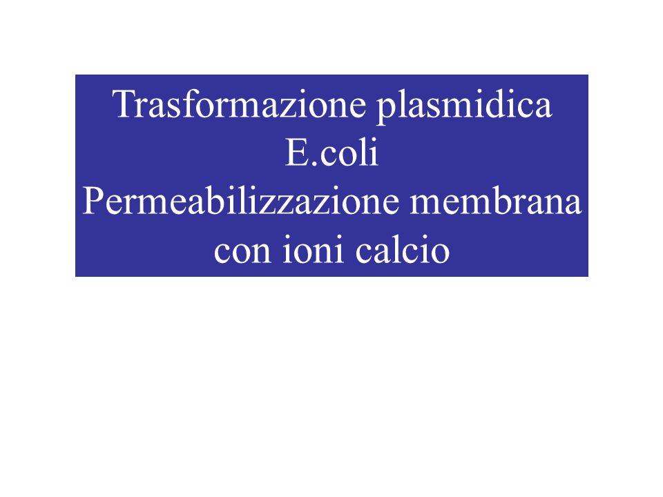 Trasformazione plasmidica E.coli Permeabilizzazione membrana con ioni calcio