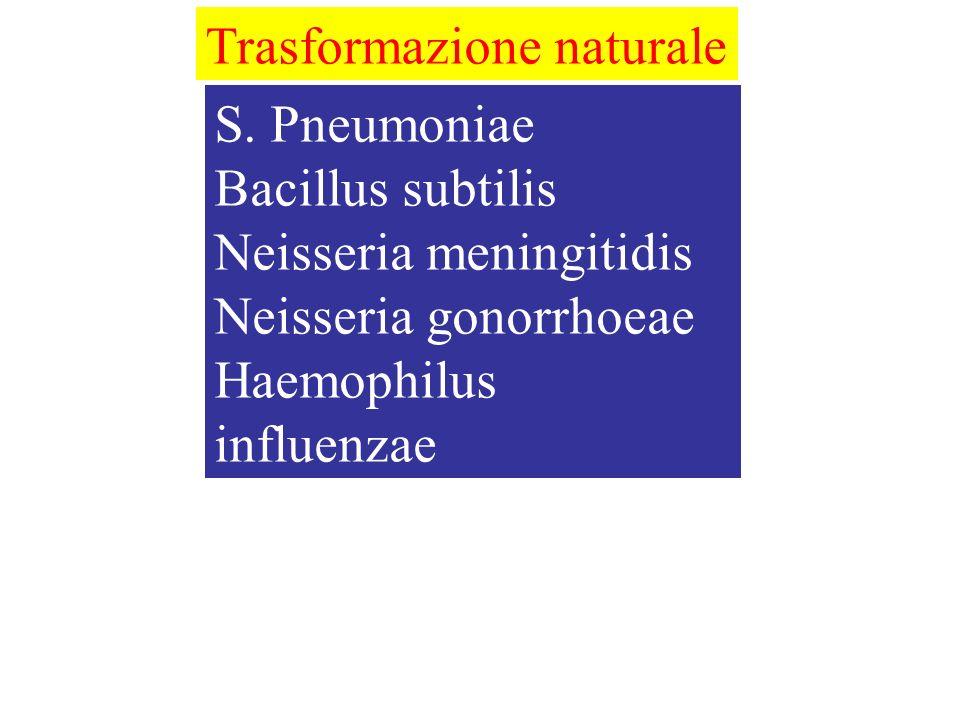 S. Pneumoniae Bacillus subtilis Neisseria meningitidis Neisseria gonorrhoeae Haemophilus influenzae Pasteurella multocida Trasformazione naturale
