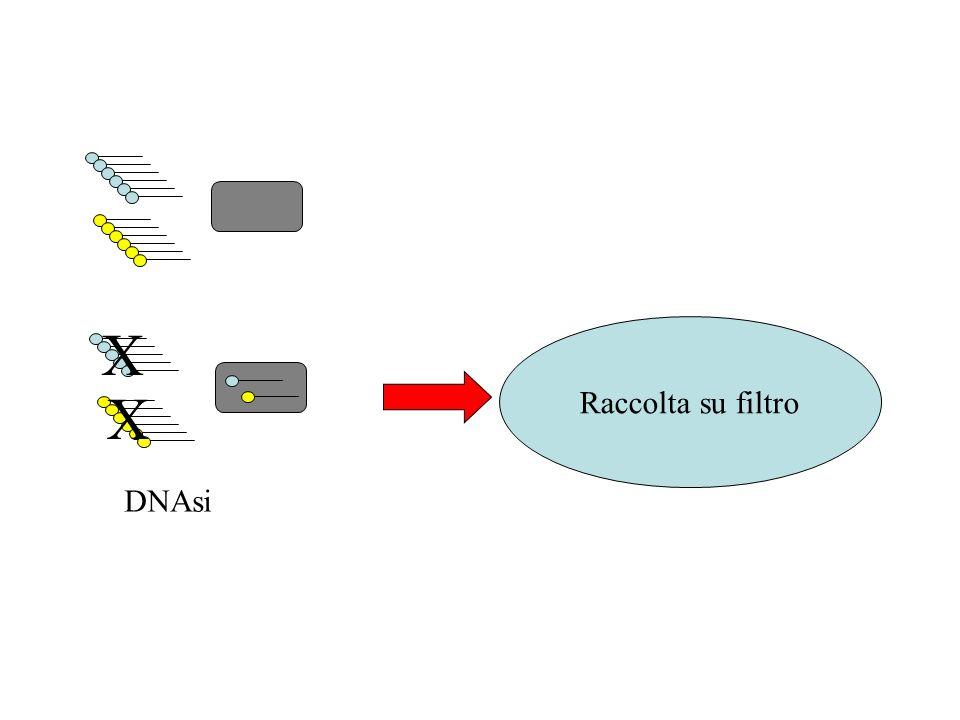 DNAsi X X Raccolta su filtro