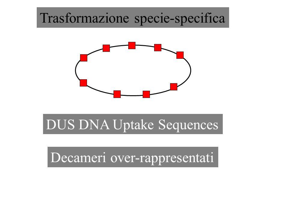 DUS DNA Uptake Sequences Decameri over-rappresentati Trasformazione specie-specifica