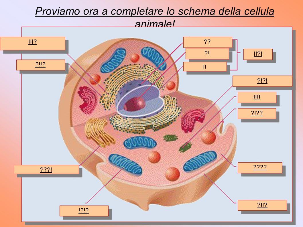 Proviamo ora a completare lo schema della cellula animale.