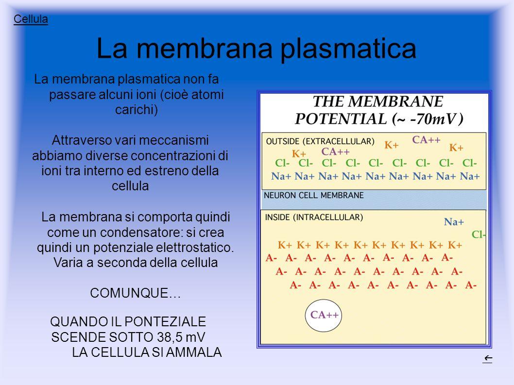 La membrana plasmatica La membrana plasmatica non fa passare alcuni ioni (cioè atomi carichi) Attraverso vari meccanismi abbiamo diverse concentrazioni di ioni tra interno ed estreno della cellula La membrana si comporta quindi come un condensatore: si crea quindi un potenziale elettrostatico.
