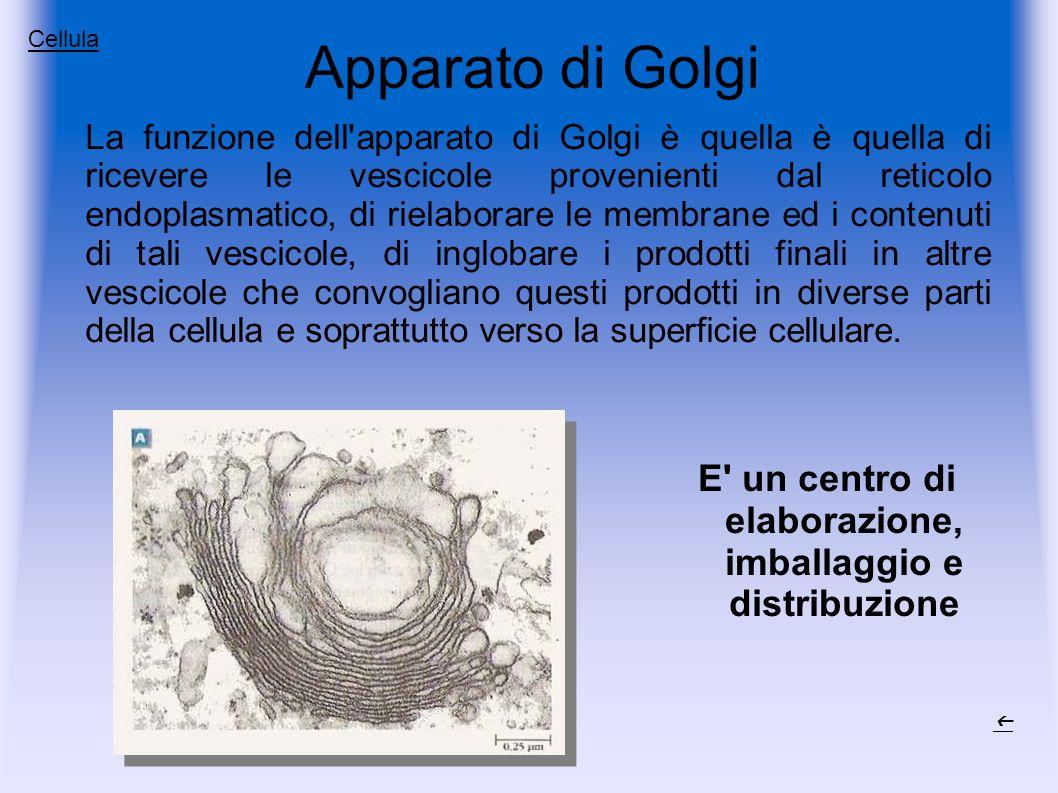 Apparato di Golgi La funzione dell apparato di Golgi è quella è quella di ricevere le vescicole provenienti dal reticolo endoplasmatico, di rielaborare le membrane ed i contenuti di tali vescicole, di inglobare i prodotti finali in altre vescicole che convogliano questi prodotti in diverse parti della cellula e soprattutto verso la superficie cellulare.