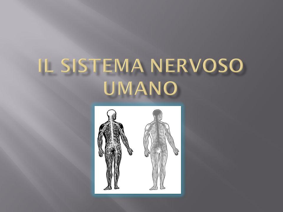 Il sistema nervoso riceve tutte le informazioni dallambiente esterno e dallinterno del corpo, le interpreta e risponde ad esse in vari modi, controllando e regolando tutte le funzioni dellorganismo.