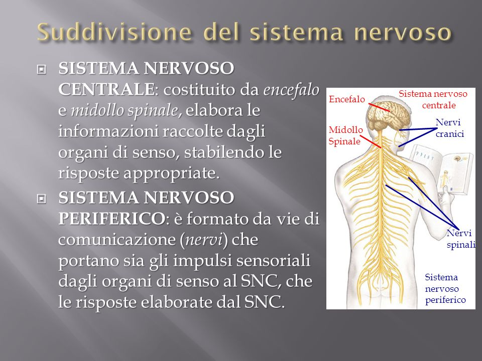 SISTEMA NERVOSO CENTRALE : costituito da encefalo e midollo spinale, elabora le informazioni raccolte dagli organi di senso, stabilendo le risposte ap