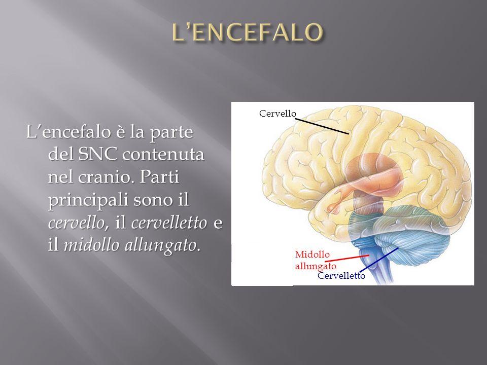 Midollo allungato Cervelletto Cervello Lencefalo è la parte del SNC contenuta nel cranio. Parti principali sono il cervello, il cervelletto e il midol