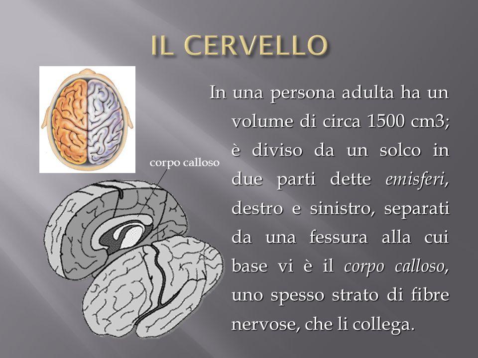 In una persona adulta ha un volume di circa 1500 cm3; è diviso da un solco in due parti dette emisferi, destro e sinistro, separati da una fessura all