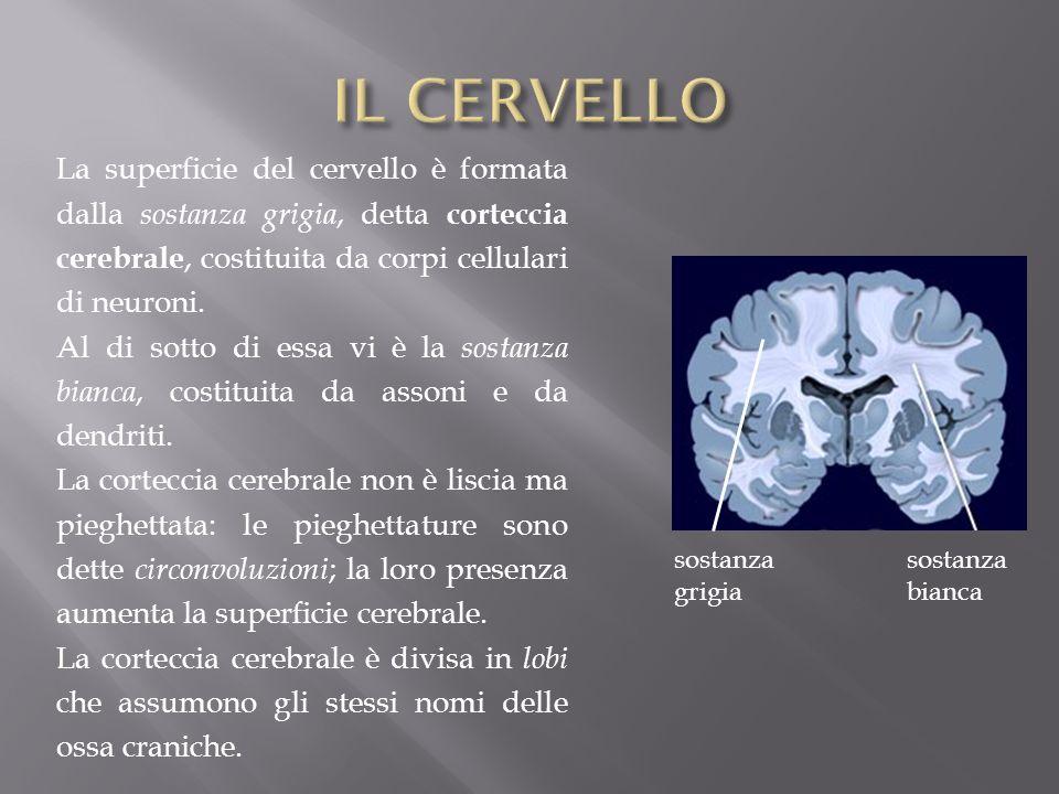 La superficie del cervello è formata dalla sostanza grigia, detta corteccia cerebrale, costituita da corpi cellulari di neuroni. Al di sotto di essa v
