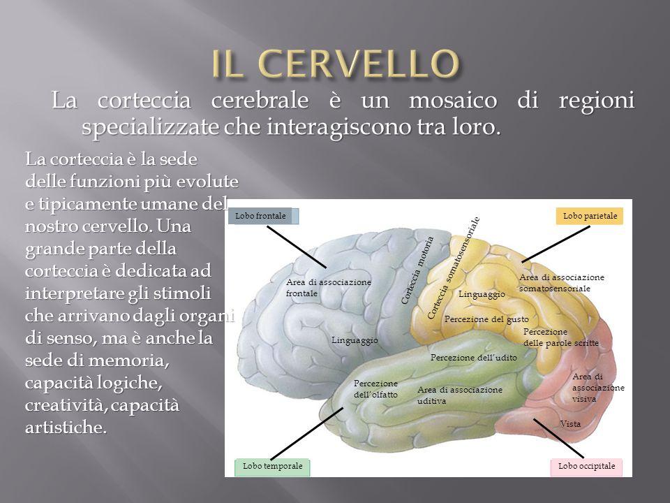 La corteccia cerebrale è un mosaico di regioni specializzate che interagiscono tra loro. Lobo frontaleLobo parietale Lobo occipitaleLobo temporale Are