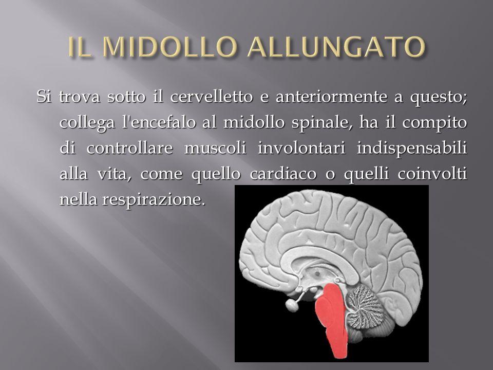 Si trova sotto il cervelletto e anteriormente a questo; collega l'encefalo al midollo spinale, ha il compito di controllare muscoli involontari indisp
