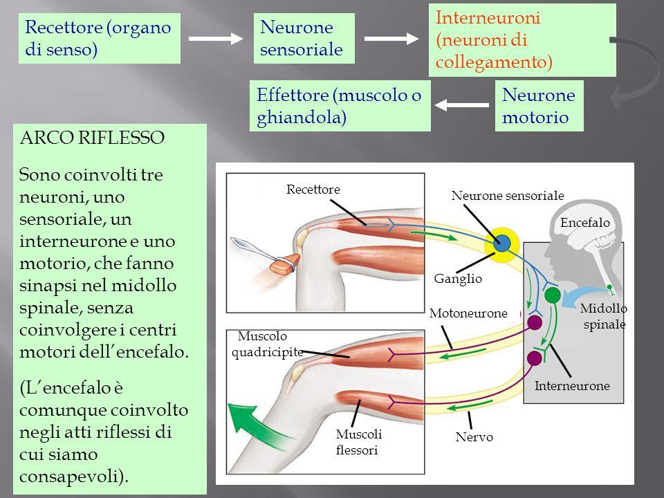 Midollo spinale Encefalo eMuscolo quadricipite Muscoli flessori Nervo Interneurone Ganglio Neurone sensoriale Motoneurone Recettore Effettore (muscolo