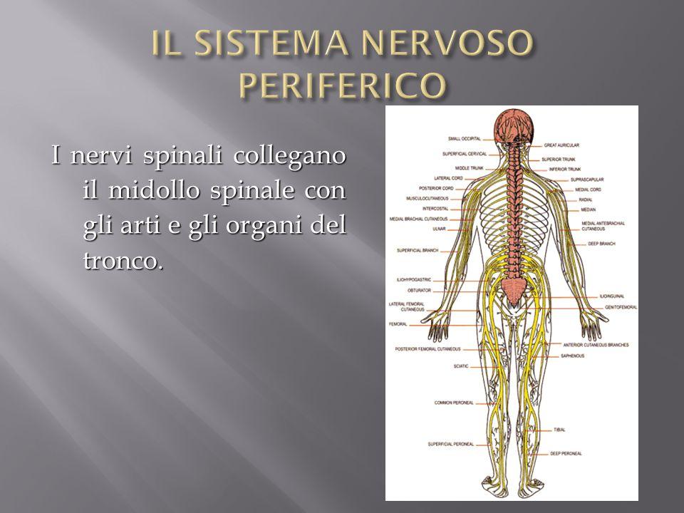 I nervi spinali collegano il midollo spinale con gli arti e gli organi del tronco.