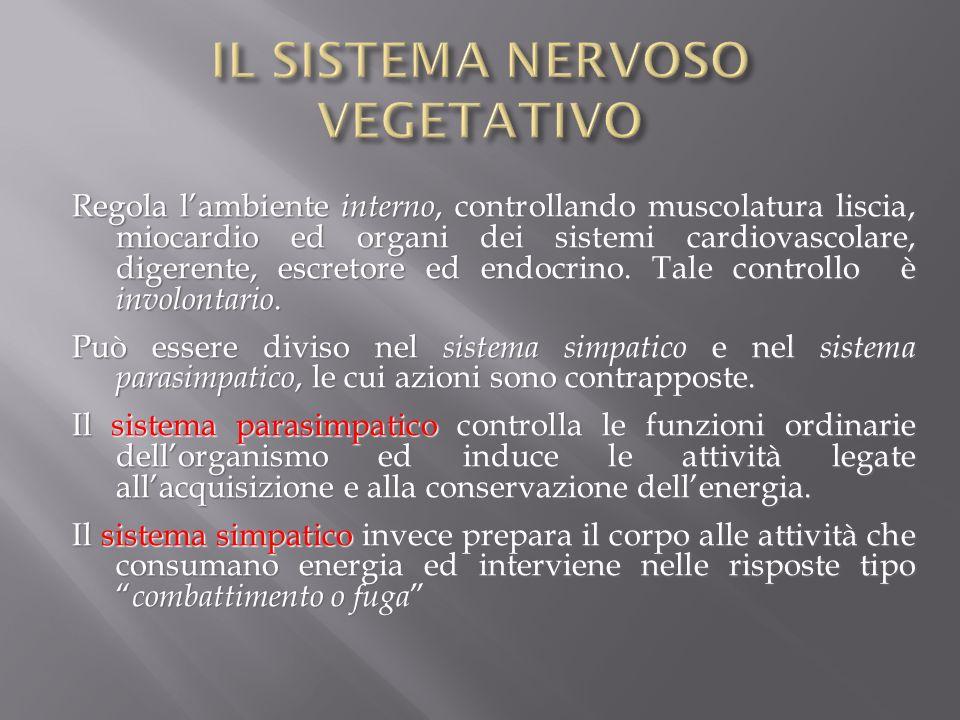 Regola lambiente interno, controllando muscolatura liscia, miocardio ed organi dei sistemi cardiovascolare, digerente, escretore ed endocrino. Tale co