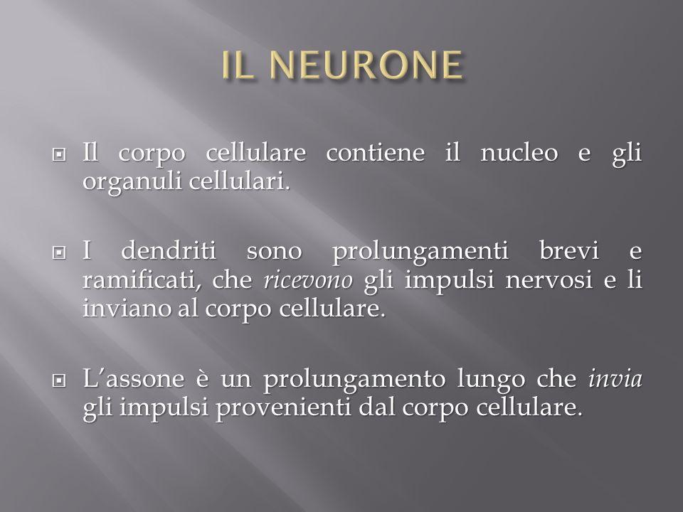 Il corpo cellulare contiene il nucleo e gli organuli cellulari. Il corpo cellulare contiene il nucleo e gli organuli cellulari. I dendriti sono prolun