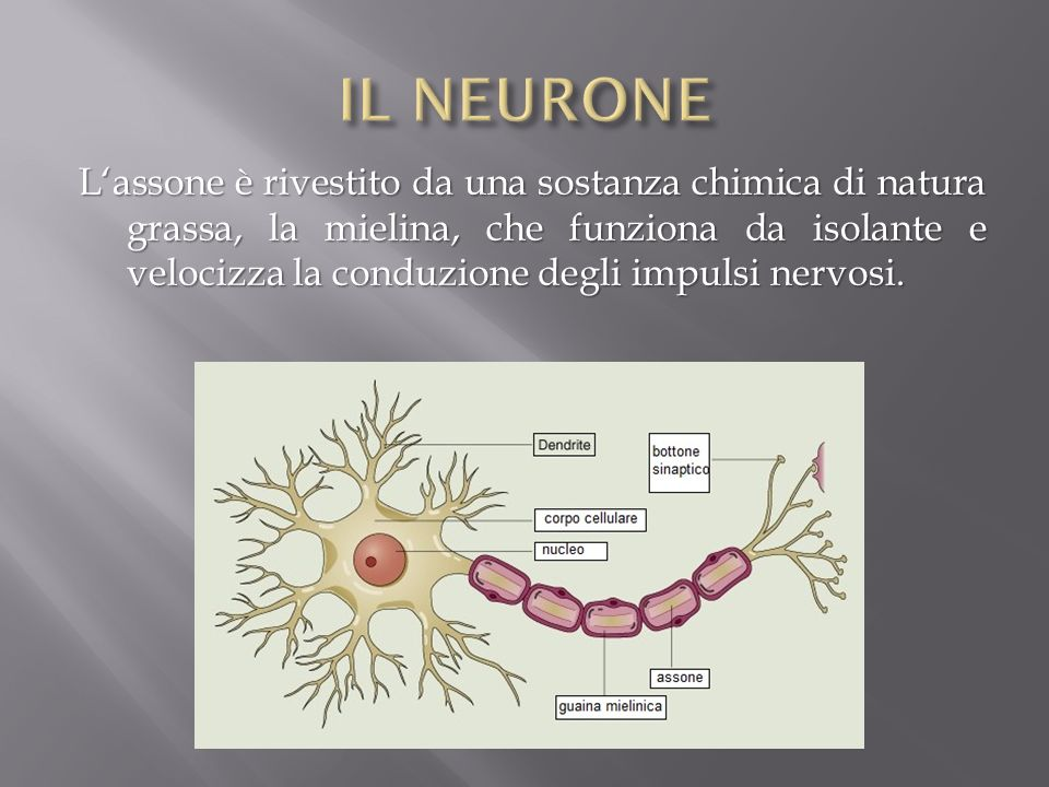 Lassone è rivestito da una sostanza chimica di natura grassa, la mielina, che funziona da isolante e velocizza la conduzione degli impulsi nervosi.