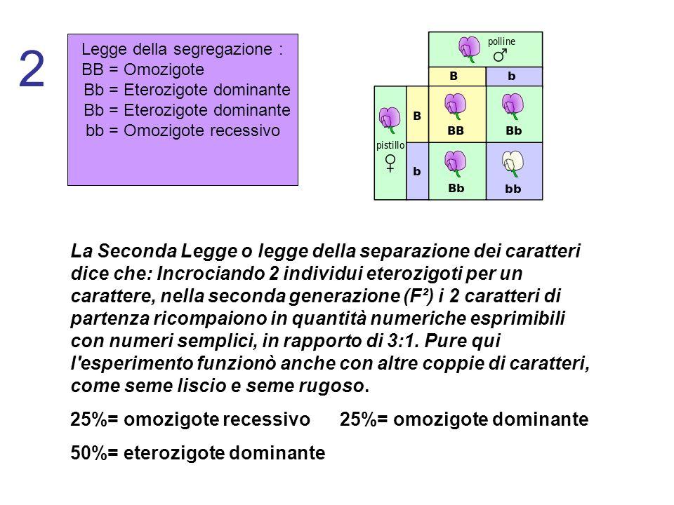 Legge della segregazione : BB = Omozigote Bb = Eterozigote dominante bb = Omozigote recessivo 2 La Seconda Legge o legge della separazione dei caratte