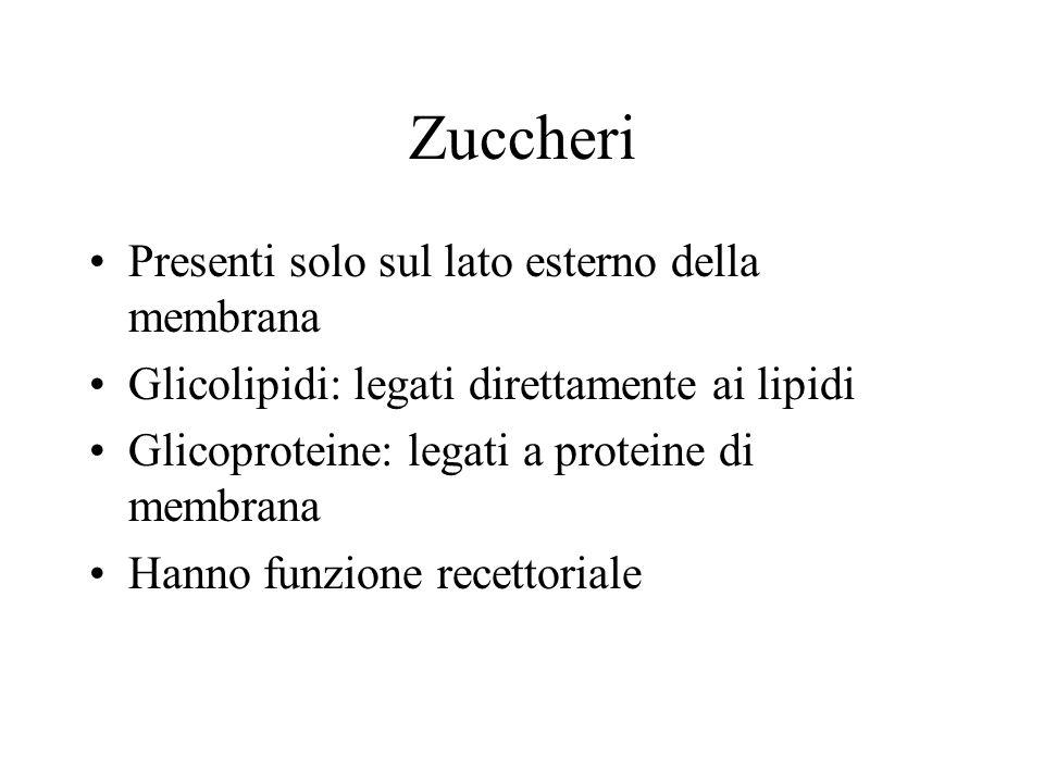 Zuccheri Presenti solo sul lato esterno della membrana Glicolipidi: legati direttamente ai lipidi Glicoproteine: legati a proteine di membrana Hanno funzione recettoriale