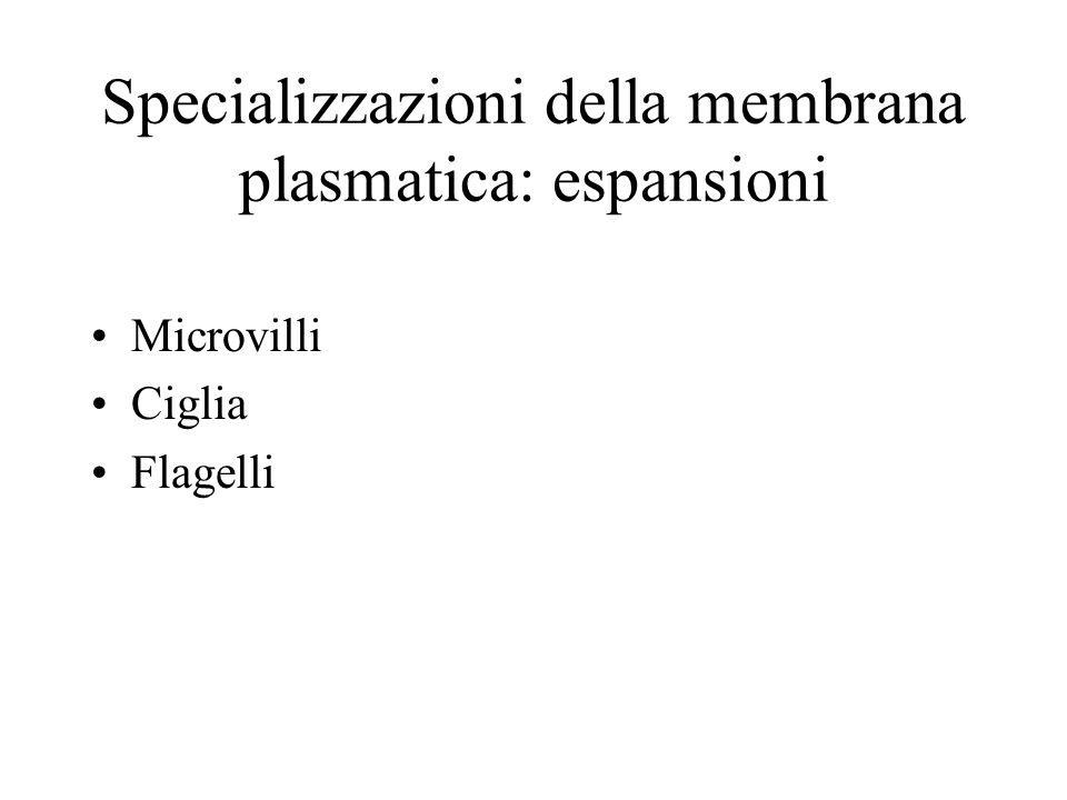 Specializzazioni della membrana plasmatica: espansioni Microvilli Ciglia Flagelli