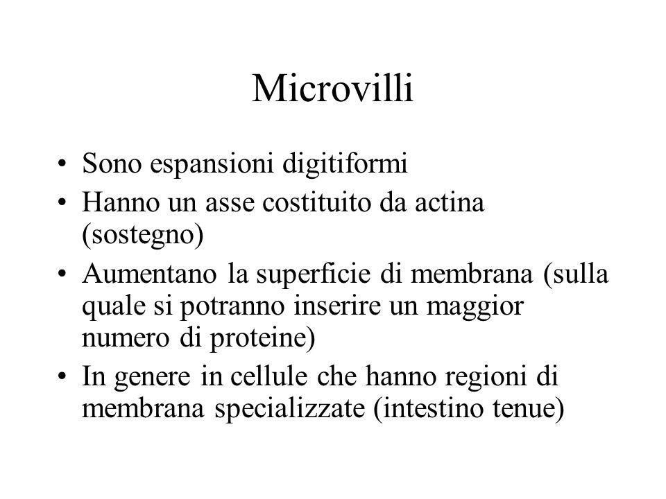 Microvilli Sono espansioni digitiformi Hanno un asse costituito da actina (sostegno) Aumentano la superficie di membrana (sulla quale si potranno inserire un maggior numero di proteine) In genere in cellule che hanno regioni di membrana specializzate (intestino tenue)