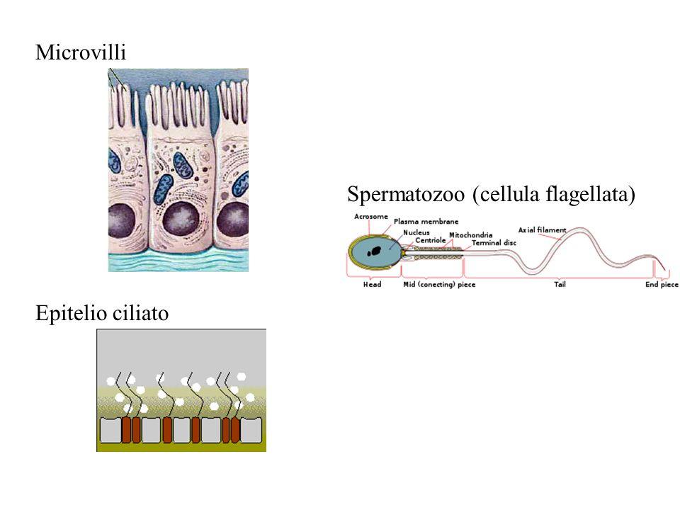Epitelio ciliato Microvilli Spermatozoo (cellula flagellata)